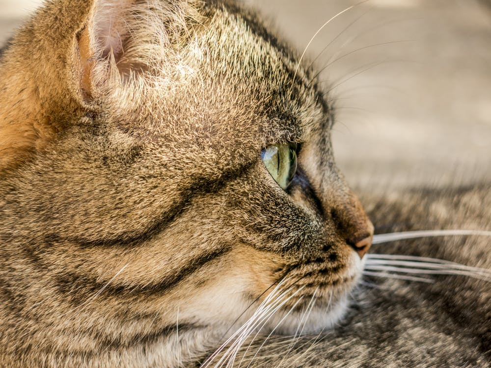 fotografia zwierzęcia, futro, koci