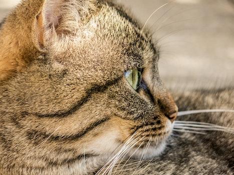 Brown and Black Short Coat Cat