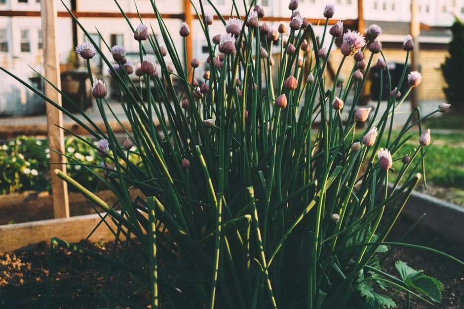 chives, flowerbed, flowers