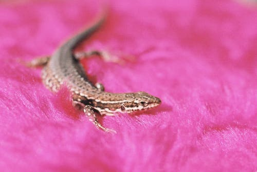 Brown Lizard on Pink Surface