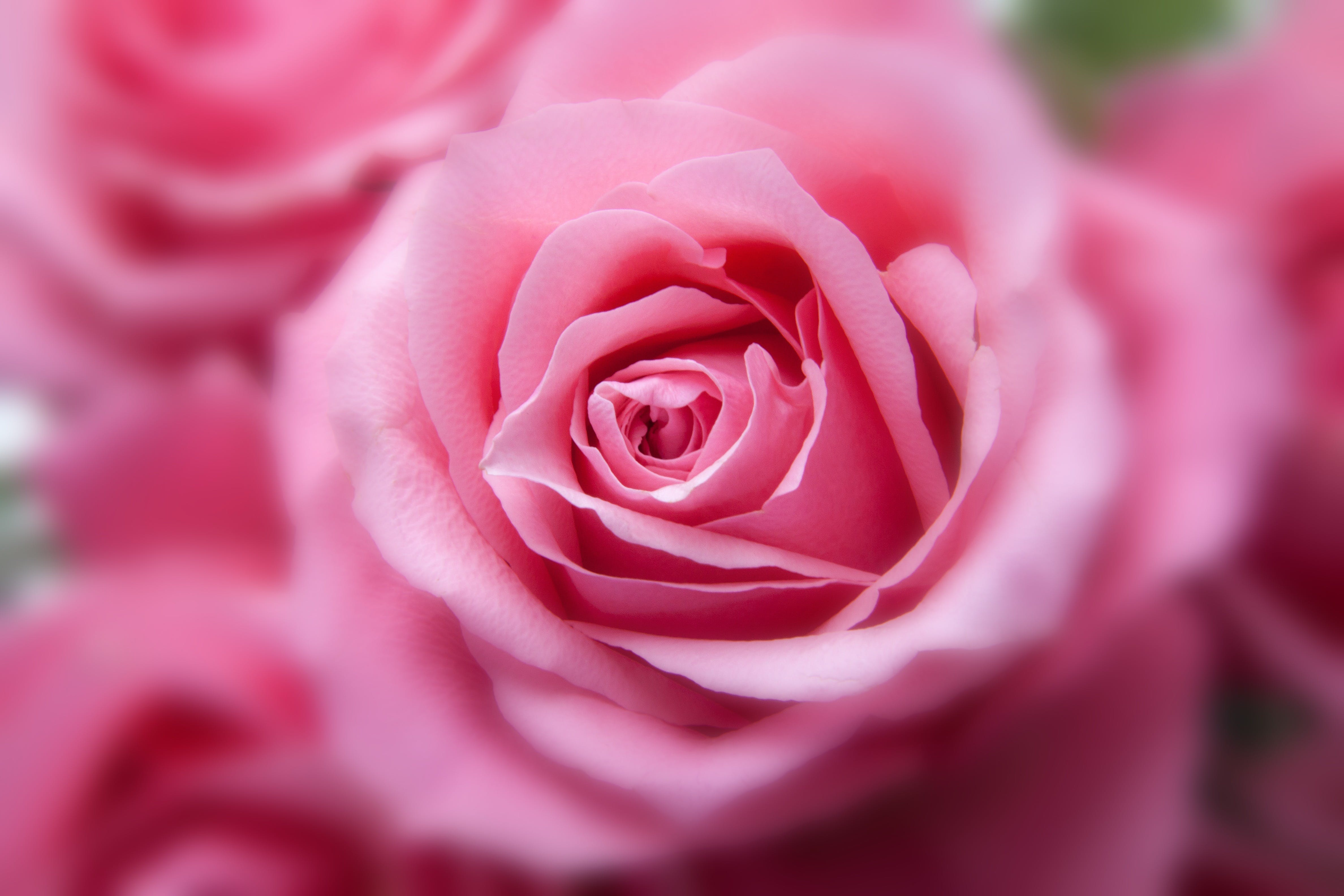 Pink Rose in Close Up View Image