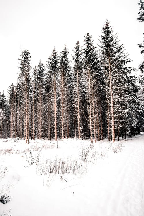 Tall trees in winter woods