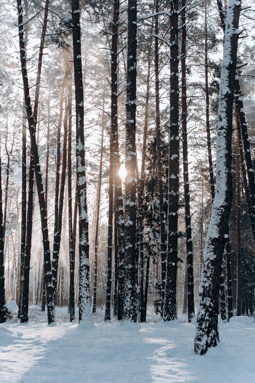 Brown Trees on Snow Covered Ground during Sunset