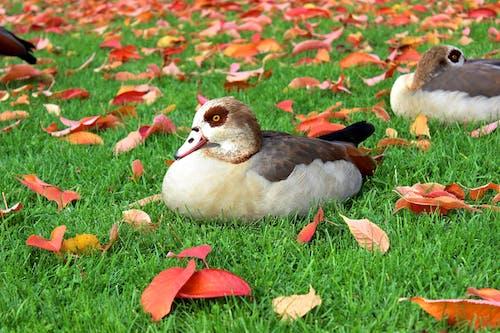 Безкоштовне стокове фото на тему «єгипетський гусак, качки, Природа, тварина»
