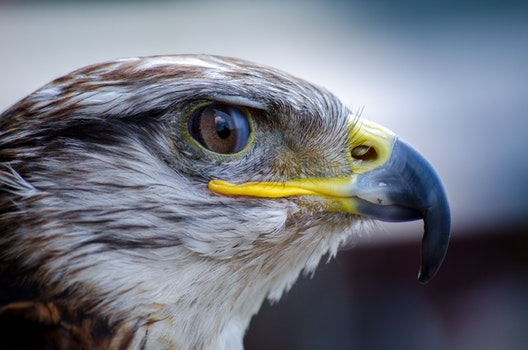 White and Brown Eagle Portrait