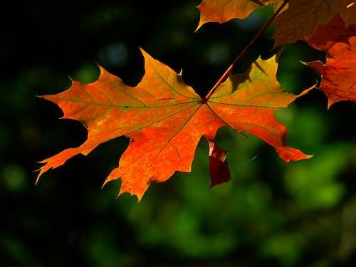 Бесплатное стоковое фото с кленовые листья, максросъемка, размытый, снимок крупным планом