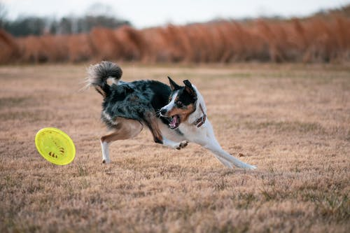 Black and White Border Collie Dog Running on Brown Grass Field