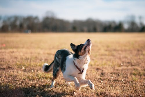 White and Black Short Coat Dog Running on Brown Grass Field