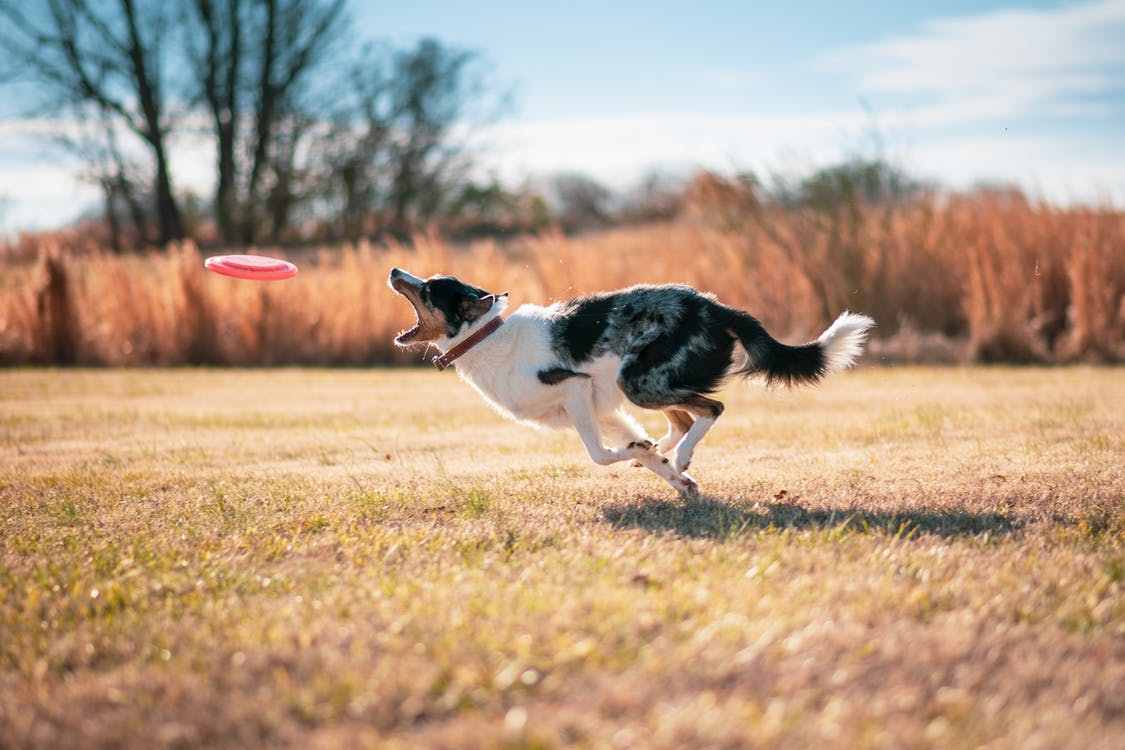 Black and White Border Collie Running on Brown Grass Field