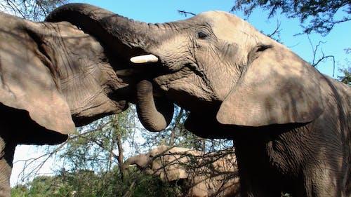 2 Elephant Animal