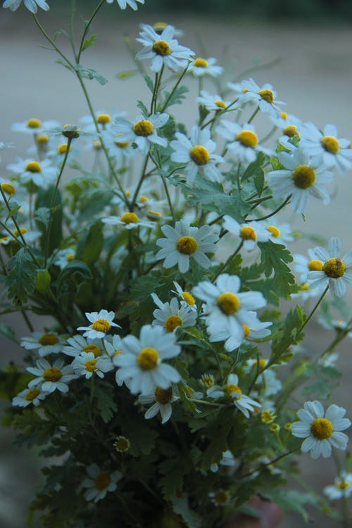 Bouquet of blooming chamomiles with white petals and green leaves with thick stems in bright place