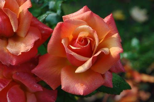 しっとり, バラ, バラの花, フォーカスの無料の写真素材