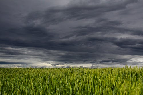alan, bitkiler, buğday tarlası, bulutlar içeren Ücretsiz stok fotoğraf