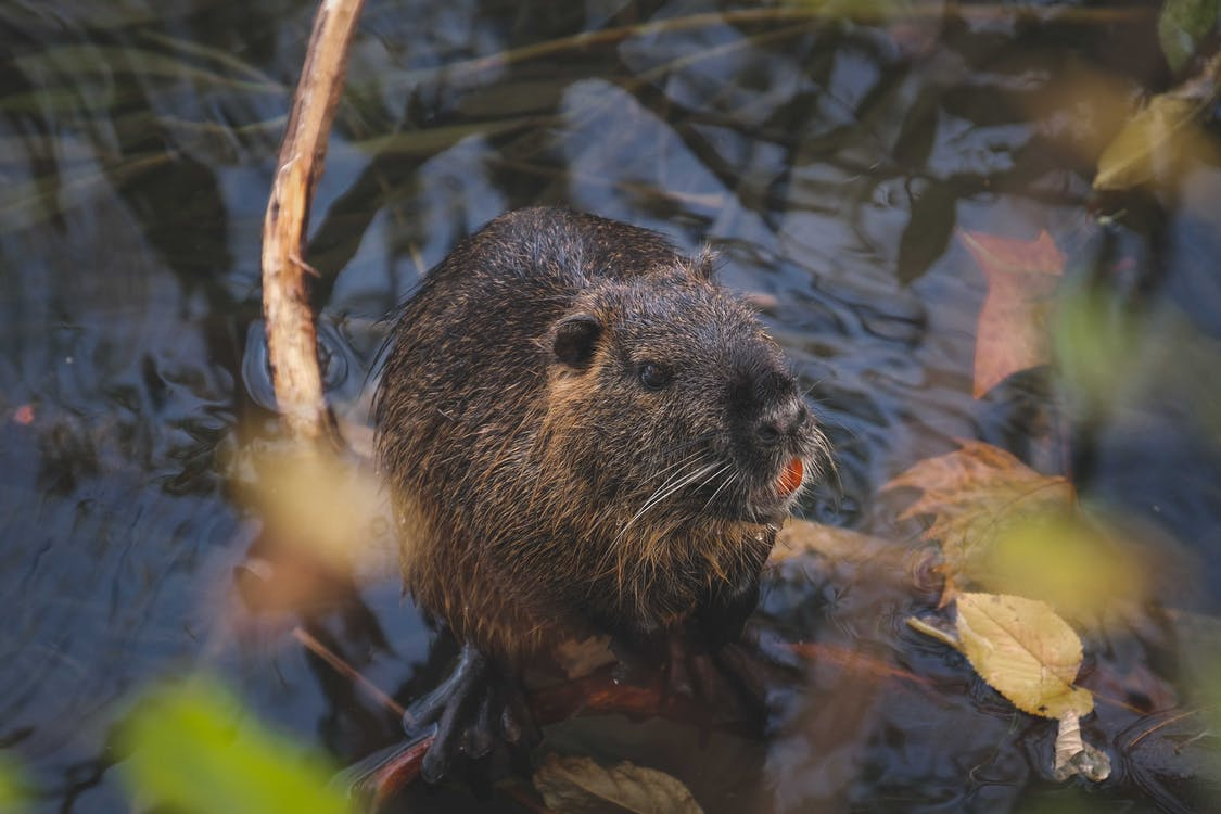 Small wet nutria sitting in pond water in park