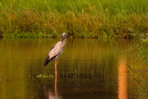 Grey Heron Flying over the Lake