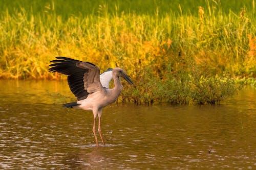 White Stork Flying over Green Grass Field