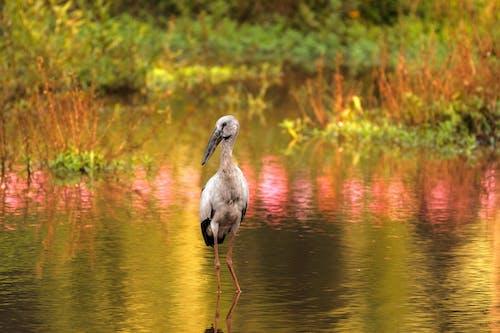 Grey Stork on Water