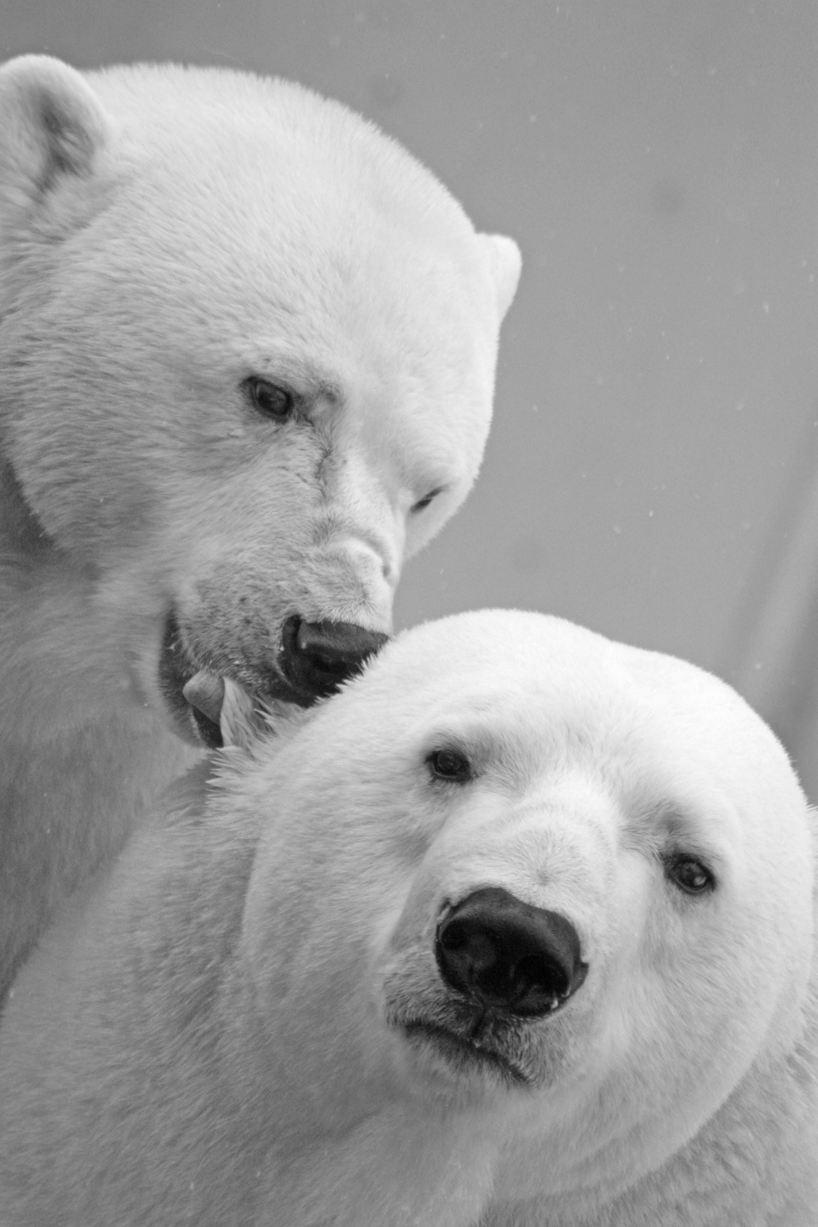 White Small Coat Polar Bear