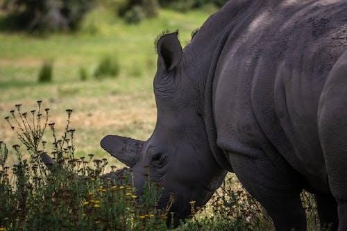 Rhinoceros Near Flowering Plants