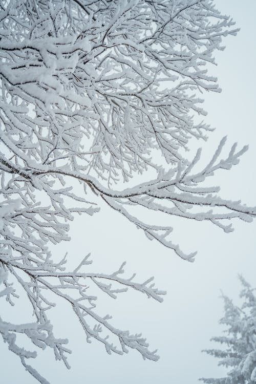 Black Tree Branch With White Snow