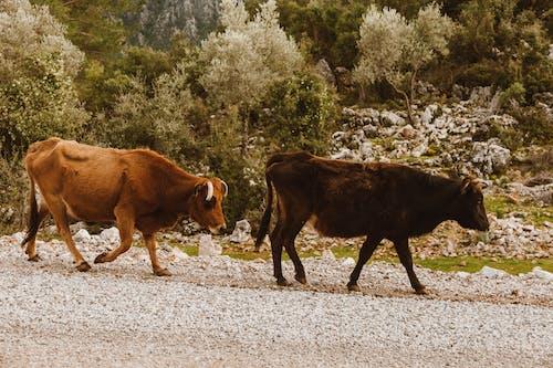 Fotos de stock gratuitas de agricultura, al aire libre, animal, becerro