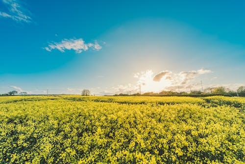 Základová fotografie zdarma na téma cereálie, farma, flóra, hřiště