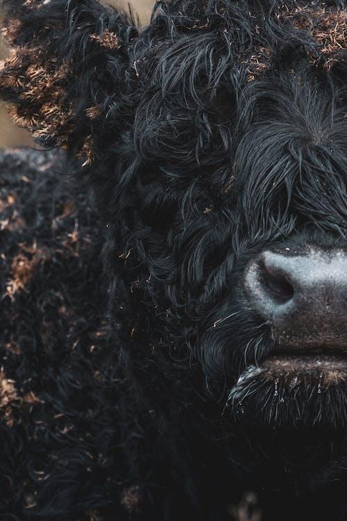 Black Cow on Brown Soil