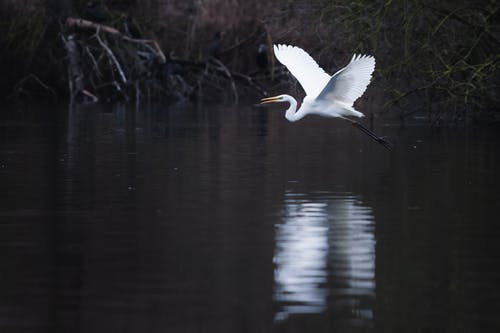 Free stock photo of great egret, heron