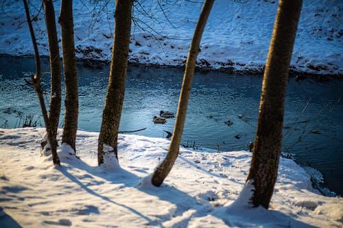 Gratis lagerfoto af ænder, flod, flodbred
