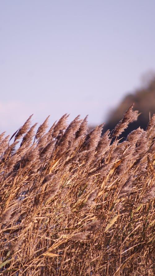 Free stock photo of beach, corn, day