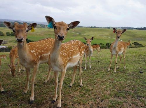 Free stock photo of animals, deer, deer farm