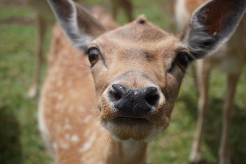 Brown Deer in Green Grass
