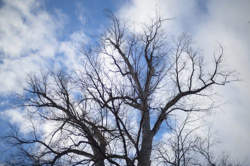 Low angle of tall tree with curly leafless branches against cloudy blue sky