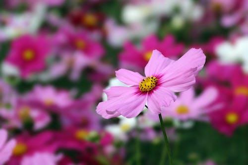 A Close-Up Shot of a Pink Flower