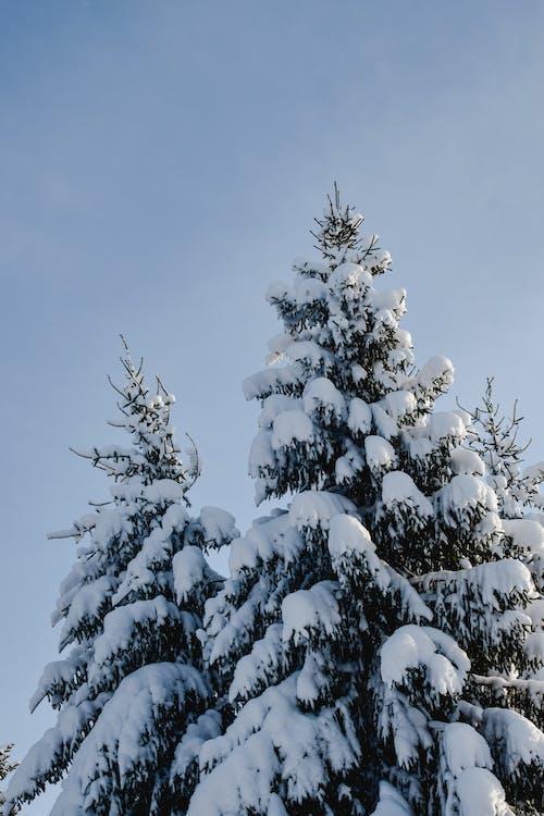Fotos de stock gratuitas de abeto, árbol, cielo limpio