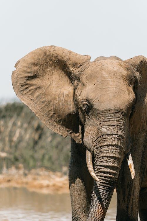 Free stock photo of african elephant, african wildlife, animal