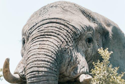 Photos gratuites de afrique du sud, animal, éléphant d'afrique