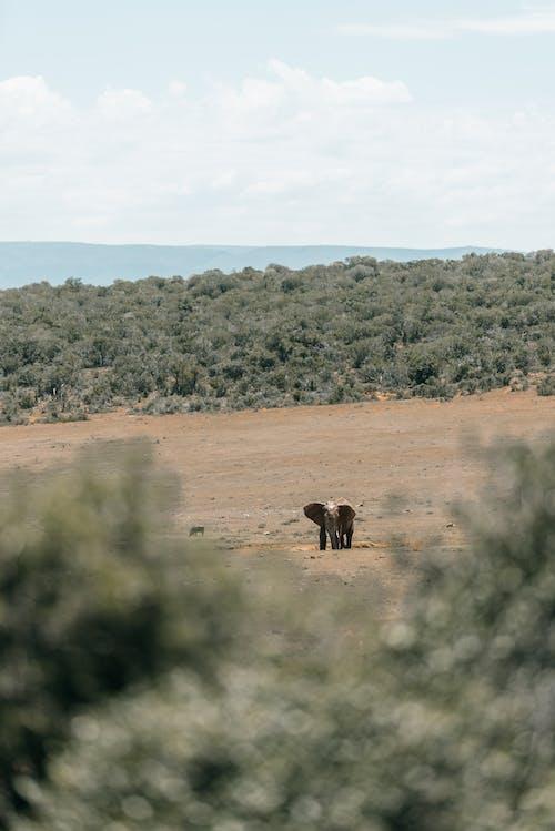 An Elephant Walking On Dry land
