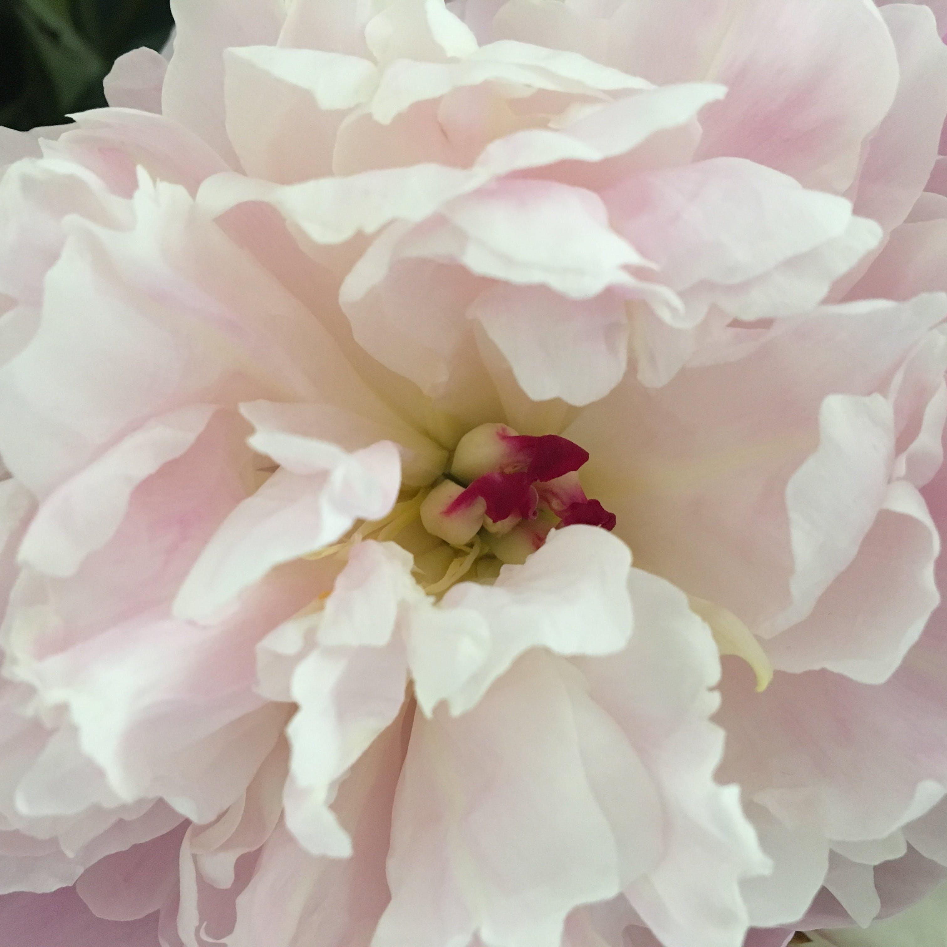 Δωρεάν στοκ φωτογραφιών με blume, pfingstrose, rosa, λεπτομέρεια