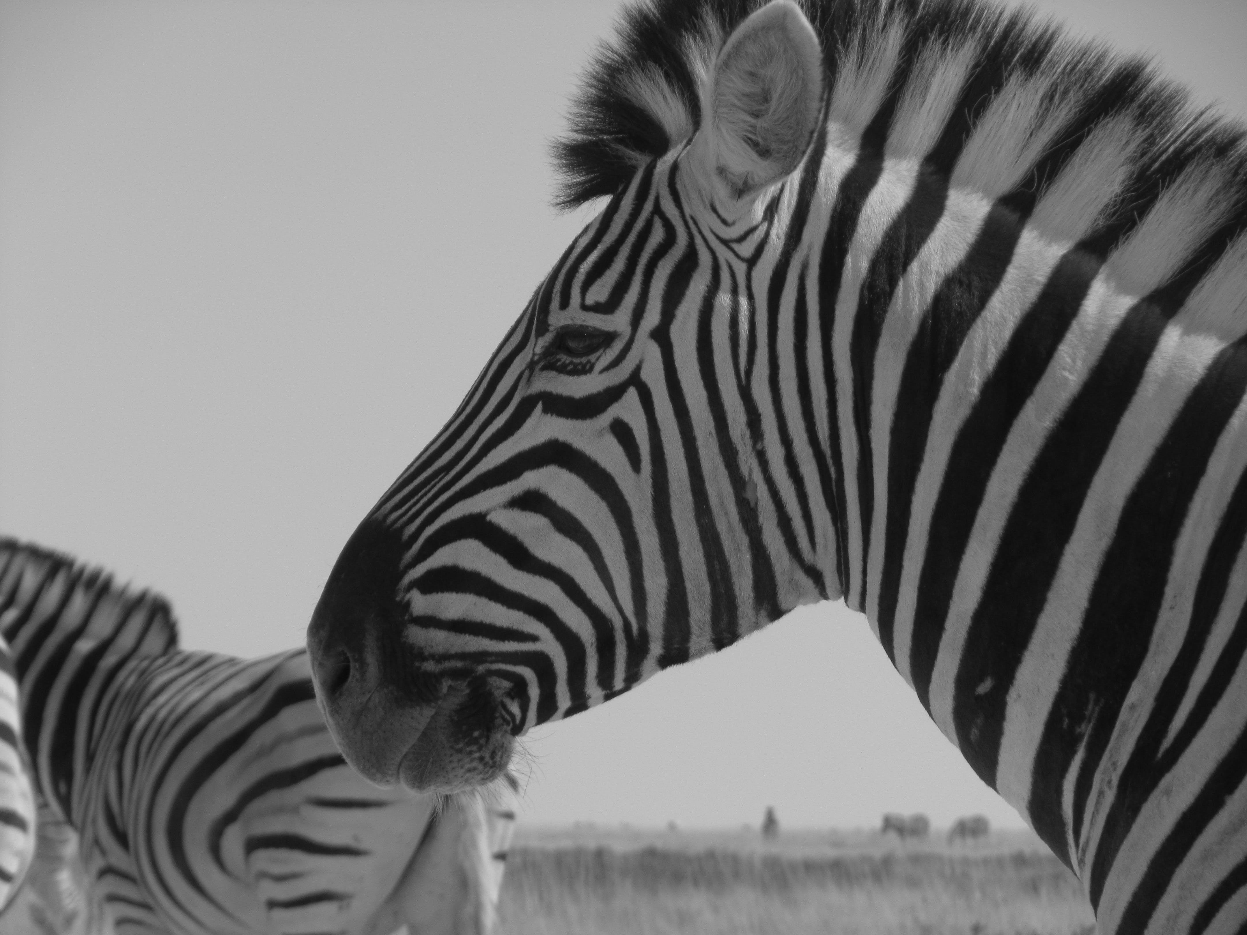 Free stock photo of zebra