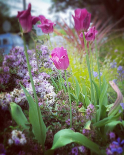 Free stock photo of beautiful flower, bed of flowers, spring