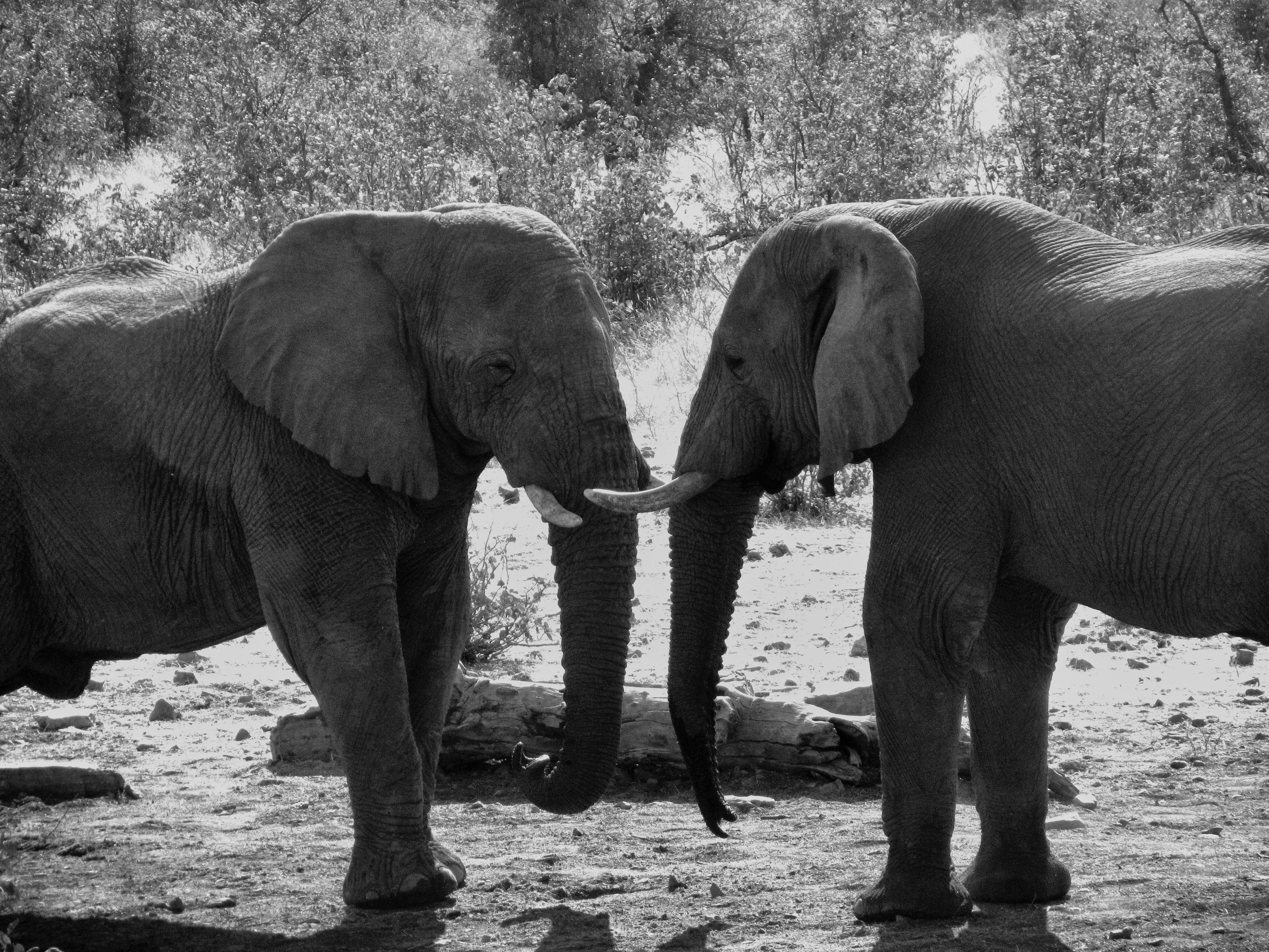 Grey Scale Photograph of Two Elephant\