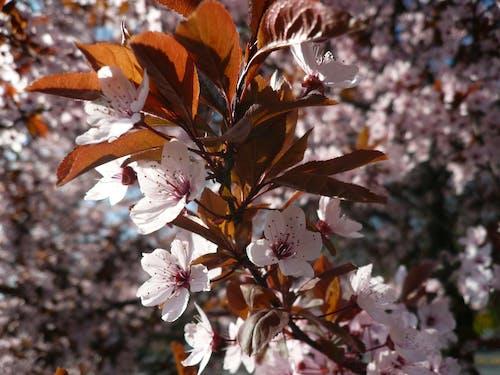Immagine gratuita di bocciolo, fiore, fiore di ciliegio, fiori