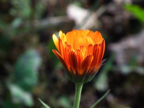 Kostnadsfri bild av apelsin, blomma, gerbera, kronblad