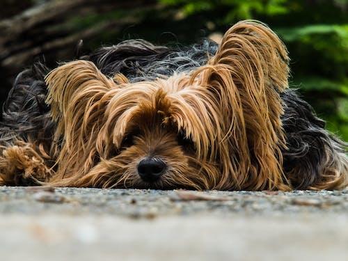 Foto d'estoc gratuïta de animal, animal domèstic, cadell, descansant