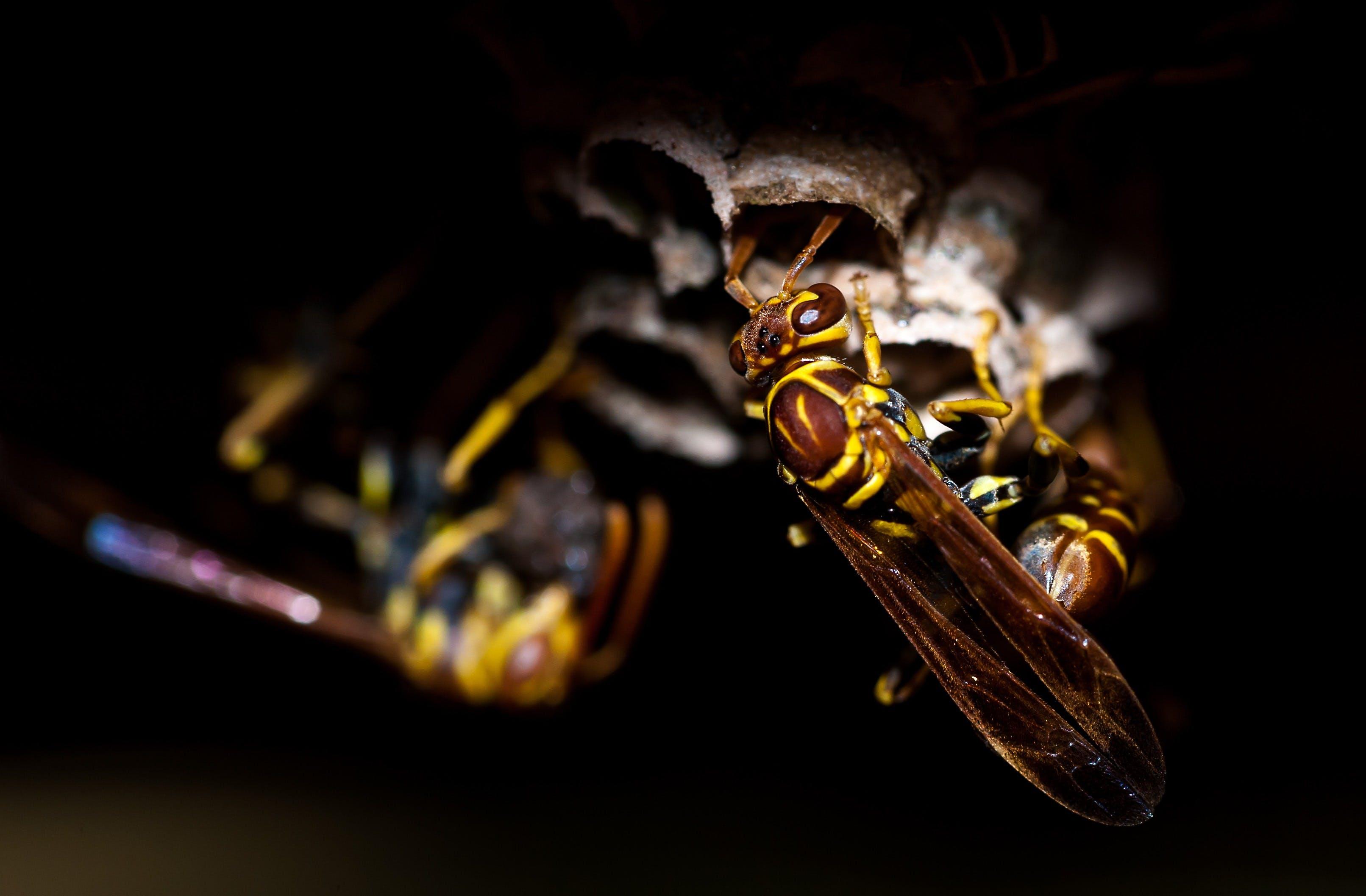 Swarm of Yellowjacket Wasps