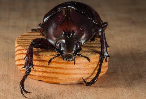 Foto stok gratis beetle, dinastinaea, kayu, kumbang badak