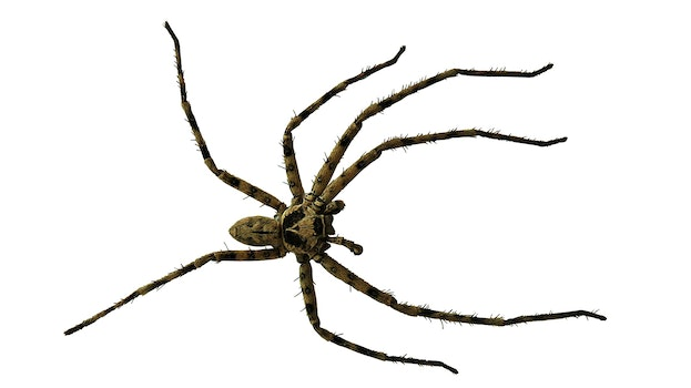 Black and Brown Spider