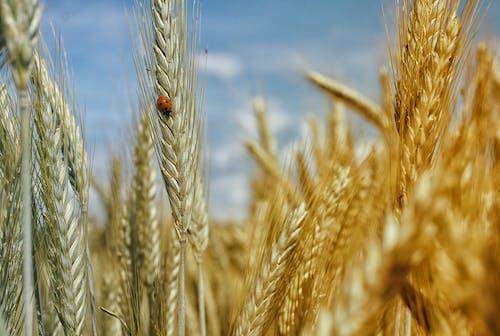 Photos gratuites de blé, champ de blé, clairière, coccinelle