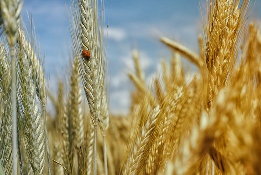 Free stock photo of nature, field, insect, wheat